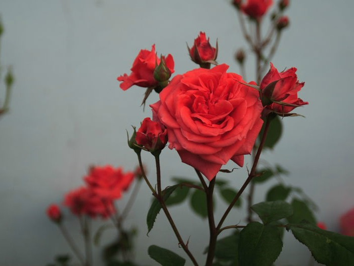 Red Chinese Roses